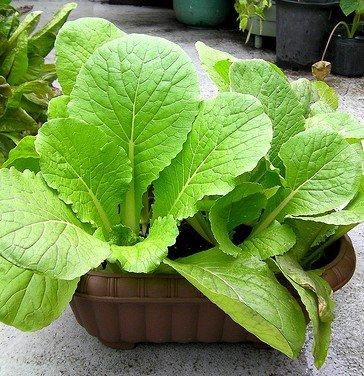 Organische Heirloom 1000 Samen Garten Chinakohl Gemüsegarten Pflanze Masse frische Samen F62