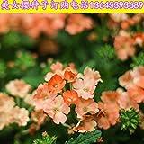 B/H pour Le Jardin Graines,Graines De Printemps Vivaces,Beau Balcon en Graine de Cerisier en Pot Jardin-E_500g