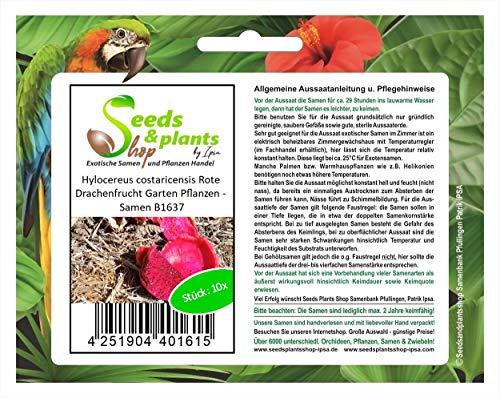 Stk - 10x Hylocereus costaricensis Rote Drachenfrucht Garten Pflanzen - Samen B1637 - Seeds Plants Shop Samenbank Pfullingen Patrik Ipsa