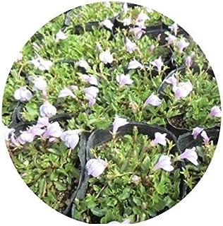グランドカバー サギゴケ ピンク 鷺苔 ピンク花 9.0p 10本 グランドカバー 下草 雑草予防