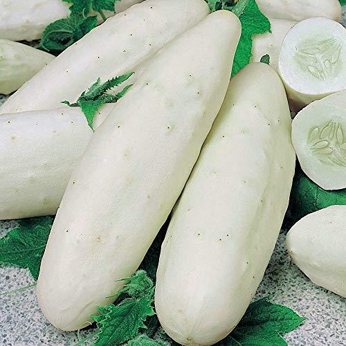 weiße Gurke 25 x Samen aus Portugal in 100% Natur-Qualität super frischer Geschmack ohne Chemie!