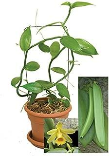 9EzTropical - Vanilla Vine Orchid Plant - 1 Starter Plant - 4