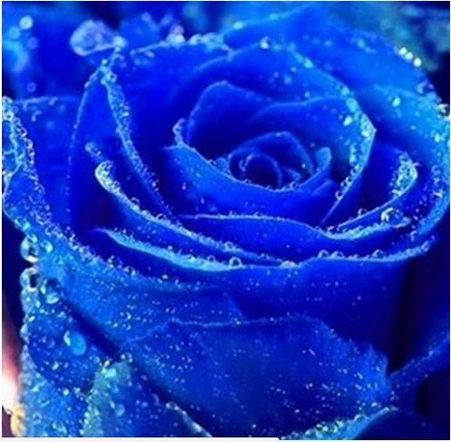 jardinières Pots de fleurs, 20 sortes de 100 graines, Rainbow Rose graines belle rose graines bonsaïs graines pour la maison et le jardin 14