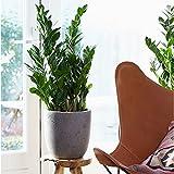 Zamioculcas zamiifolia | Plante ZZ | Plante d'intérieur tropicale | Hauteur 60-70cm | Pot Ø 27cm