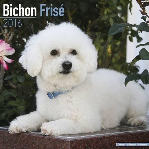 Bichon Frise Calendar - Only Dog Breed Bichon Frise Calendar - 2016 Wall calendars - Dog Calendars - Monthly Wall Calendar by Avonside
