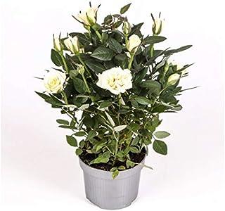 comprar comparacion Rosal mini - PACK 2 unidades - maceta 10,5cm. - altura total aprox. 25cm. - planta viva - (envíos sólo a península)