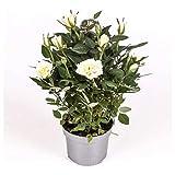 Rosal mini - PACK 2 unidades - maceta 10,5cm. - altura total aprox. 25cm. - planta viva - (envíos sólo a península)