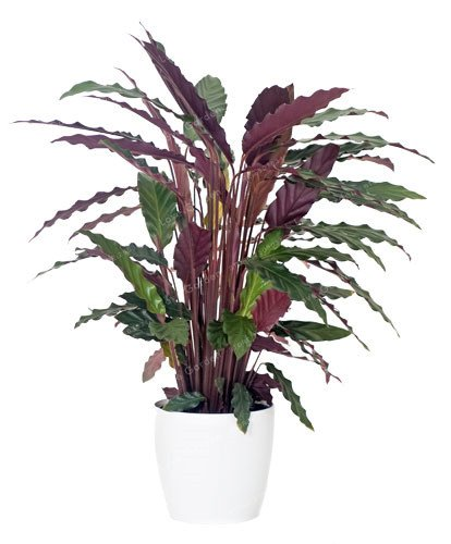Bloom Green Co. 50 PCS Rare Calathea Bonsai Lufterfrischer Pflanzen Schöne Blumen Bonsai Büro-Schreibtisch-Bonsai für Blumen-Garten Ornaments: 6