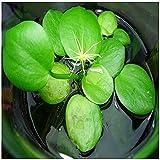 1 Pcs of Frogbit plant
