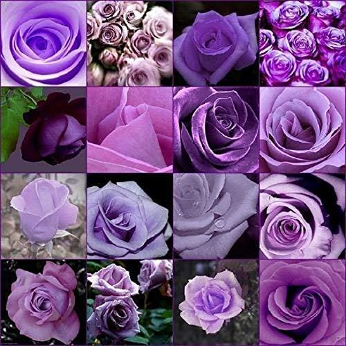 Green Seeds Co. Rose 200 stücke Günstige Seltene Lila Rose Blume Polyantha Outdoor Zimmerpflanzen Creepers Garten bonsai: mix