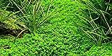 Aquariumpflanze Hemianthus callitrichoides 'Cuba' von Tropica Nr.048B Wasserpflanzen Aquarium Aquariumpflanzen