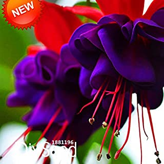 Hot Sale!Purple Double Petals Fuchsia Seeds Potted Flower Seeds Potted Plants Hanging Fuchsia Flowers 50 Seed/Lot,#4RH759