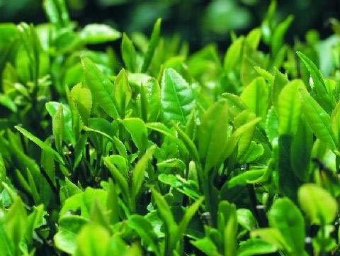 HONIC 10 Stück chinesischer grüner Tee-Baum Bonsai im Freien Pflanze Baum Topf Blume für Hausgarten-Wald Grove immergrüne Bäume Hohe Keimung: Dunkelgrau