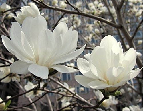 Magnolia Stellata Plant 3ft Supplied in a 3 Litre Pot