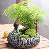 10PCS Asparagus Fern (Asparagus setaceus) -Small Bamboo Bonsai setose Asparagi Piante, Pulire l'aria in Vaso
