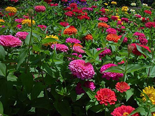 XINDUO Graines De Printemps Vivaces,Combinaison de graines de Fleurs Sauvages-Mélange de Couleurs_0,5kg,pour Le Jardin Graines