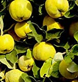 zone 5 fruit trees - 1 Provence Quince Fruit Tree Seedling Hardy Edible Pear Family Live Plant