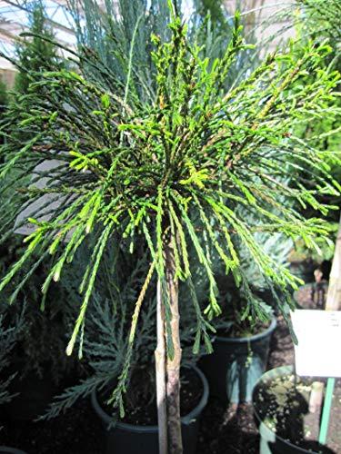 Thuja plicata Whipcord - Faden-Lebensbaum Whipcord - Veredelung auf einen Hochstamm - Stammhöhe 50-60 cm Stammhöhe