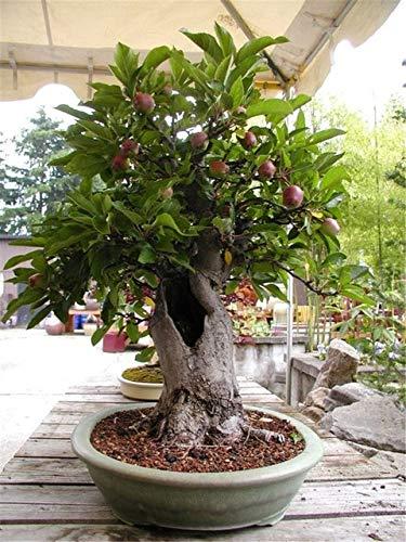 10 Stück Olivenbaum Bonsai Olea Europaea 10 Exotische Frische Bonsai Pflanze Baum Mini Olivenbaum Olivenbaum Bonsai Garden Teile: 5