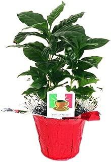 Hirt's Arabica Coffee Bean Plant - 3.5