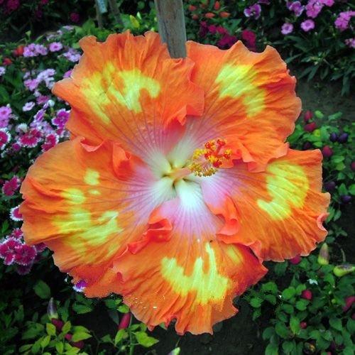 Perennial Hibiscus Seeds Amazoncom