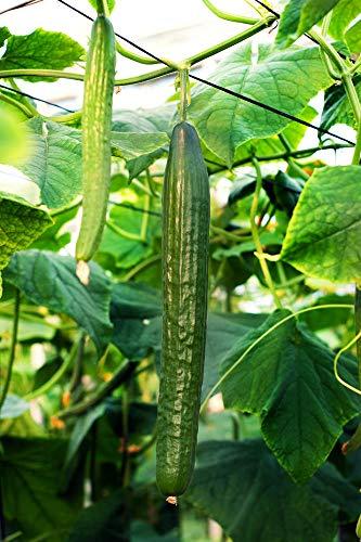 100+ semi di cetriolo verdi lunghi per piantare, semi di cetriolo di cimelio biologico non OGM