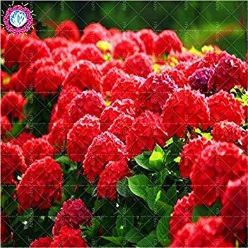 VISTARIC 4: Heißer Verkauf! 100 PC/Beutel Bonsai Calla-Lilien-Samen Indoor-Blumensamen Schöne Garten Dekoration Yard Pflanze Blumentöpfe Pflanz 4