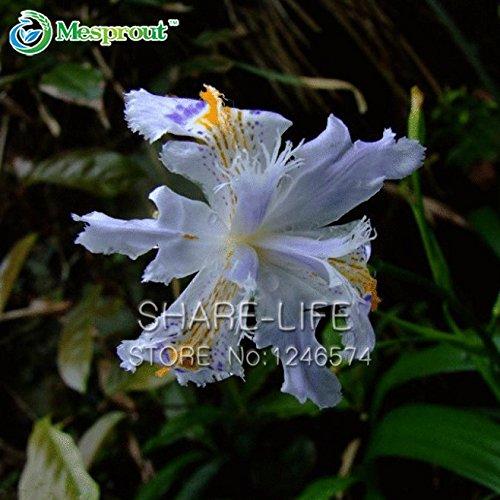 Japonais Graines Iris Japonica Fleurs graines Iris blanc Orchidée japonaise Rare Fleur Facile à planter. Garden Home Bonsai 20PCS