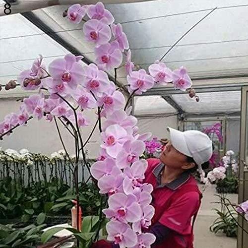 C-LARSS 50 Stück/Beutel Topf Phalaenopsid Samen, Umweltfreundliche Schnelle Keimung Samen Für Zu Hause 8 Phalaenopsis Samen