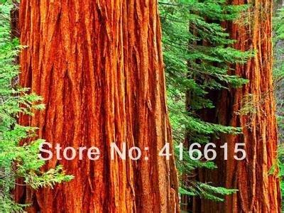 Secoya gigante 50 semillas - BONSAI - Sequoia Giganteum,, regalo misterioso de la felpa