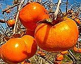 10 Diospyros kaki Samen, Sharonfrucht, Persimone, Kaki Pflaume, neu eingetroffen