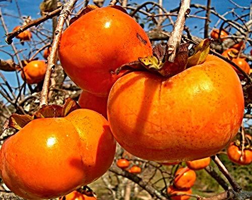 100 Diospyros kaki Samen, Sharonfrucht, Persimone, Kaki Pflaume, neu eingetroffen