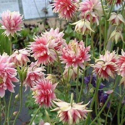 Columbine Aquilegia vulgaris Nora Barlow 50 Samen