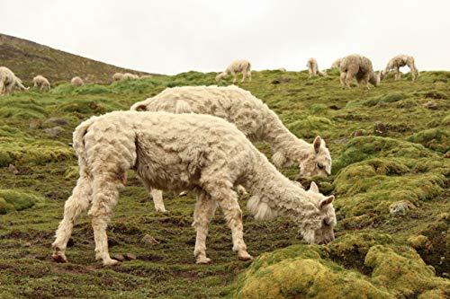 Southern Subtropics Alpaca/Llama Pasture Blend (1 Acre)