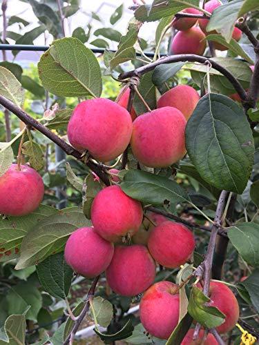 Miniapfel DOLGO, Kitaika, Apfelbaum Sibirische Renette, Siberian Apfel, Китайка Долго