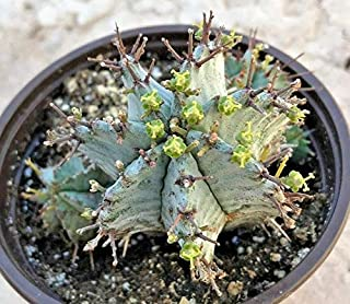 1 Euphorbia Polygona, Snowflake' Comes in a 3.5
