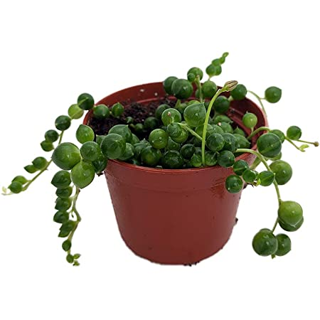 String of Pearls 2.5 Inch Pot