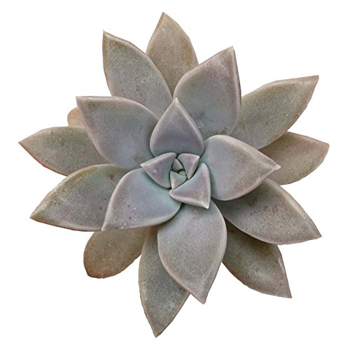 Graptopetalum Paraguayense Ghost Plant (2'' + Clay Pot)