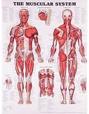 Muscular System Wallchart