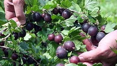 black velvet gooseberry bush