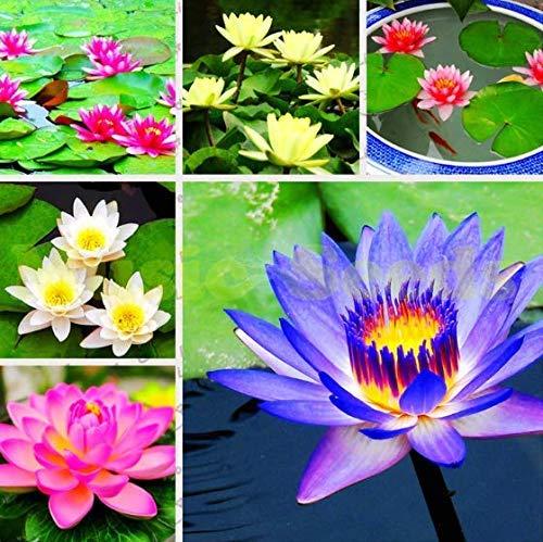 Xianjia Garten - 10pcs Raritäten Seerose Aurora Reichblühend, Zwergseerose Mini Lotusblumen Blumensamen Mischung winterhart mehrjährig, Auch für die Kübelhaltung geeignet (21)