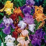 Bearded Iris Mixed Colors 5 Bulbs Plant #BV06