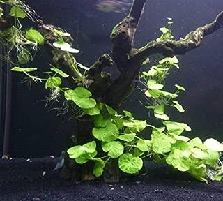 Brazilian Pennywort Bunch - Easy Freshwater Aquarium Live Plant