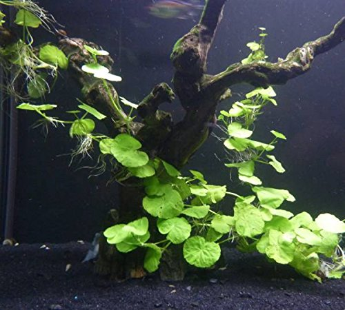 Potted Brazilian Pennywort Aquarium Live Plant