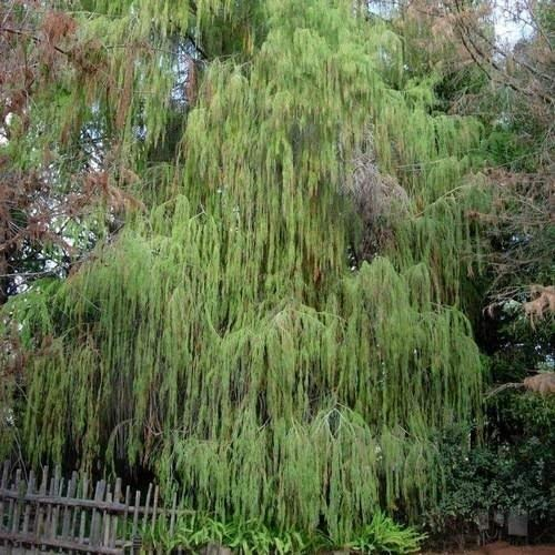 vegherb 20 Samen Montezuma Sumpfzypresse Samen (Taxodium huegelii)