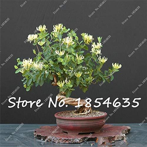 20 Stücke Hof Balkon Kletterpflanzen Klettern Geißblatt Lonicera Topfpflanze Blumensamen Von Heilpflanzen