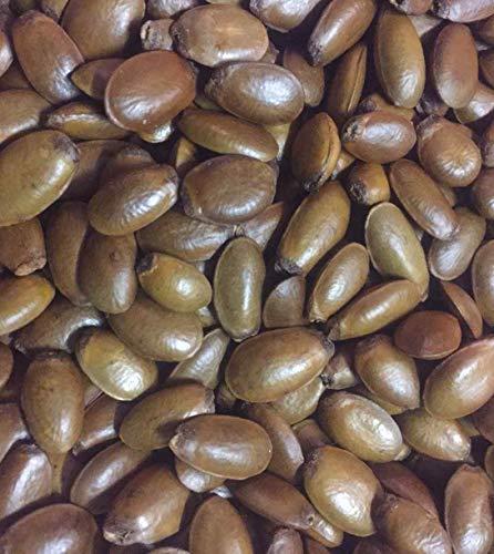 Asklepios-seeds® 1000 Samen Annona muricata, Stachelannone, Sauersack, Graviola