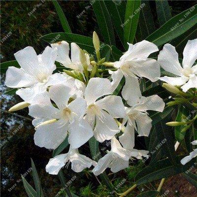 Nerium indicum Mill Fleur Nerium Oleander graines jardin Plantes ornementales Intéressant Bonsai Pots de fleurs Pots 50 Pcs 2