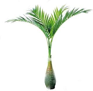 50pcs Bamboo Palm Seeds Plants Exotic Lady Palm Seeds Indoor Plants Rhapis Excelsa DIY Home Garden Tree Plants Seeds Air Purification Bonsai Plant