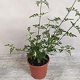 Planta Jazmin Grandiflora(Jazmín Andaluz) PORTES GRATIS